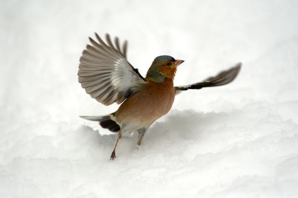 fringuello in volo