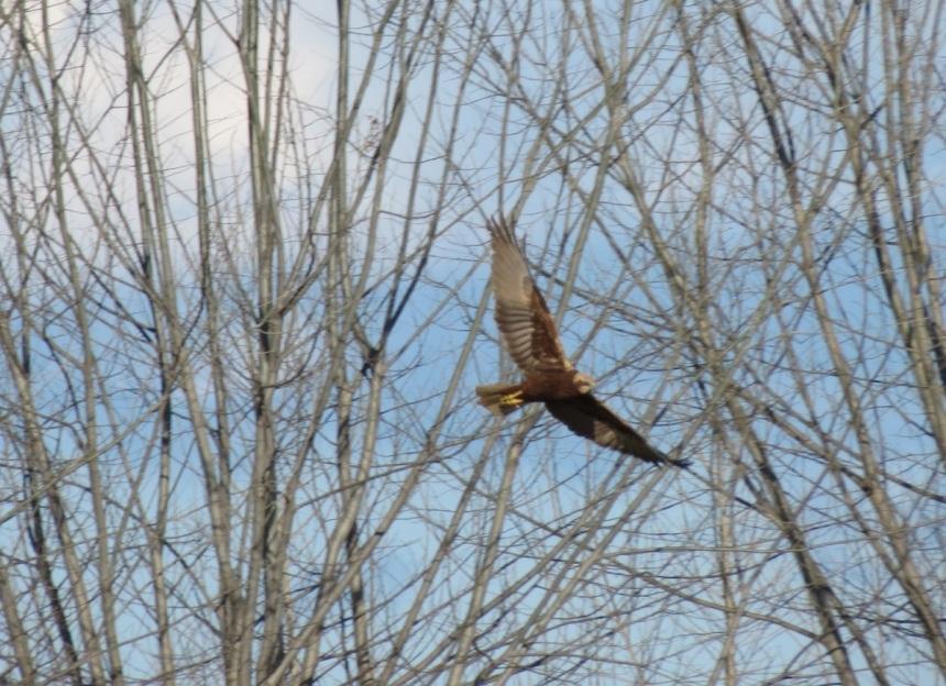 falco palude_crop