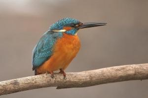 kingfisher (10)