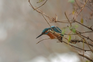 kingfisher (11)