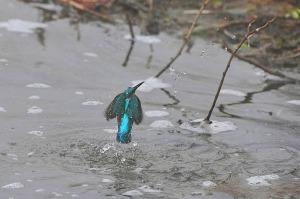 kingfisher (12)