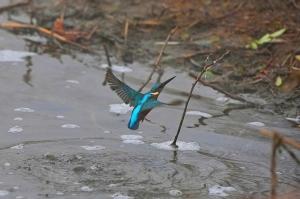 kingfisher (13)