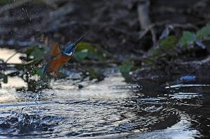 kingfisher (3)