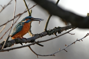 kingfisher (4)