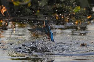 kingfisher (6)