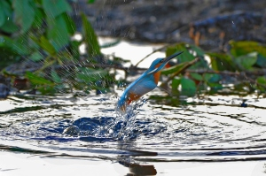 kingfisher (7)