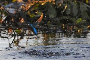 kingfisher (8)
