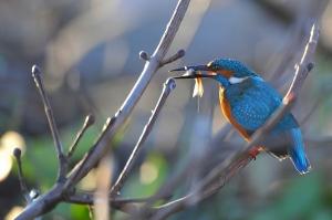 kingfisher (9)