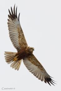 20130428-FalcoPalude1024