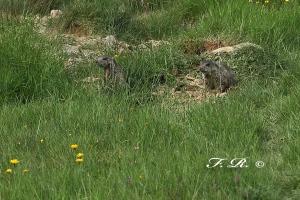 FR1D2886-marmottine