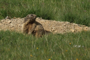 FR1D2904-marmotta