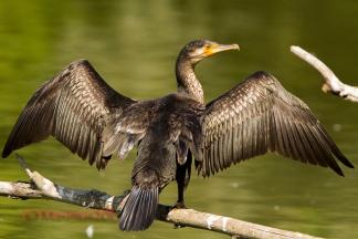cormoranoalsoletorrile
