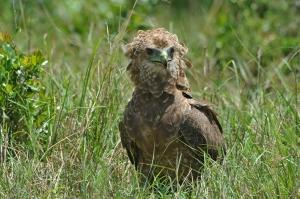 Falco giocoliere immaturo