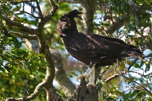 Aquila crestata africana