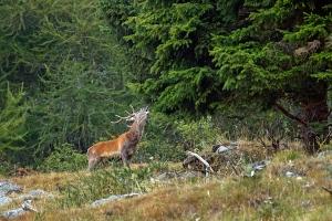 cervo in bramito