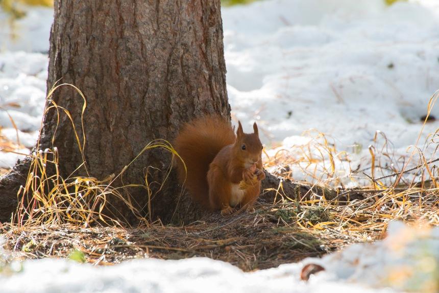 scoiattolo con arachide