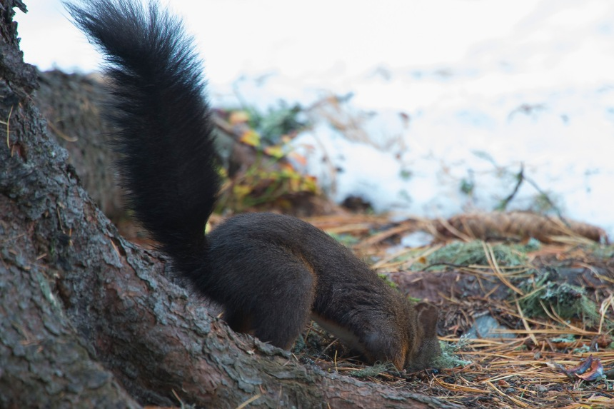 scoiattolo nasconde arac.