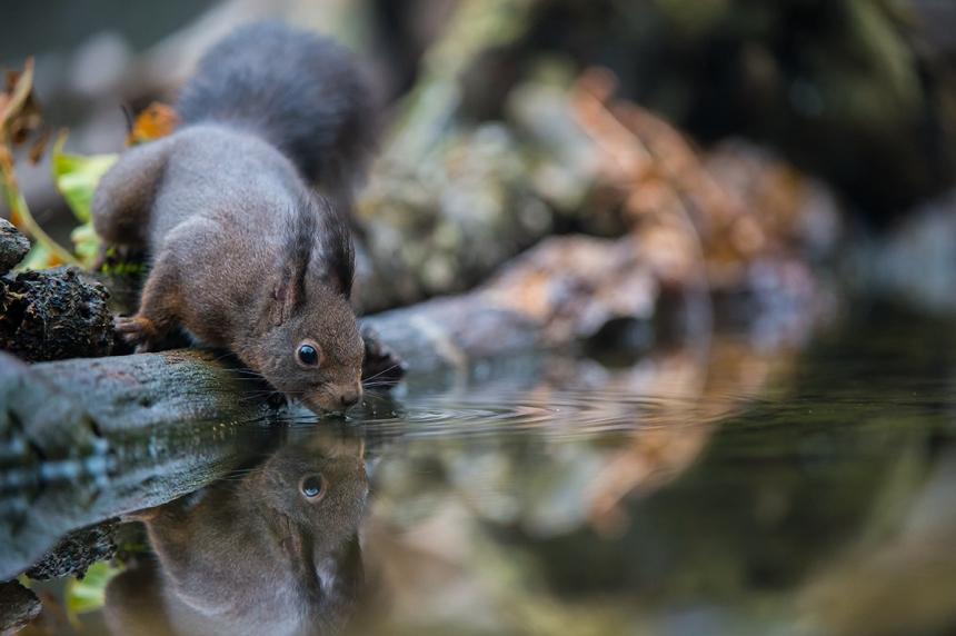 scoiattolo-che-beve