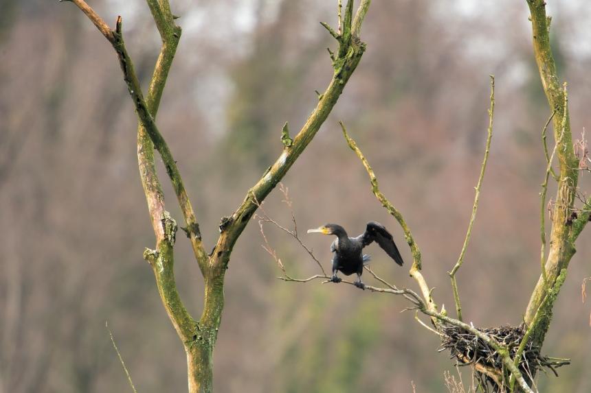 cormorano-su-pianta