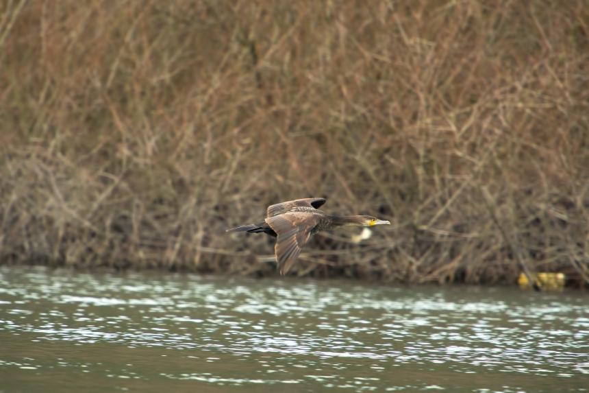 cormorano-volo