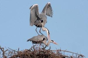 gray-herons