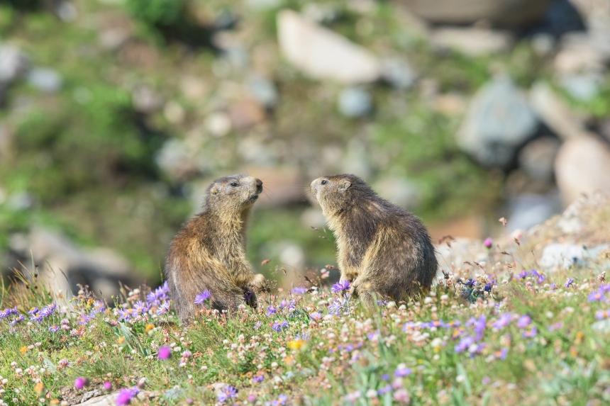 coppia di marmotte