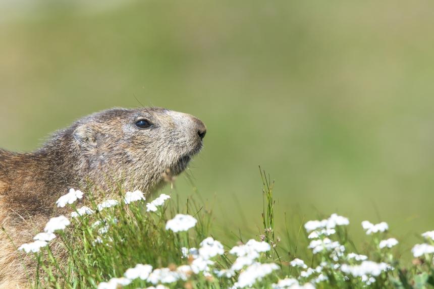 Marmotta e fiori