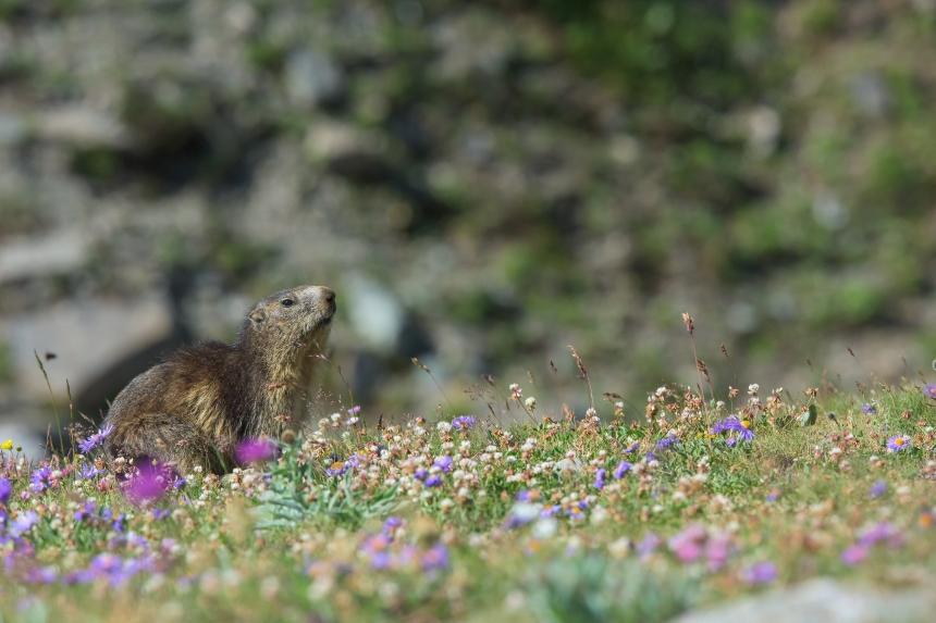marmotta su campo di fiori