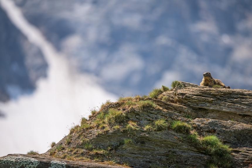 marmotta su sfondo