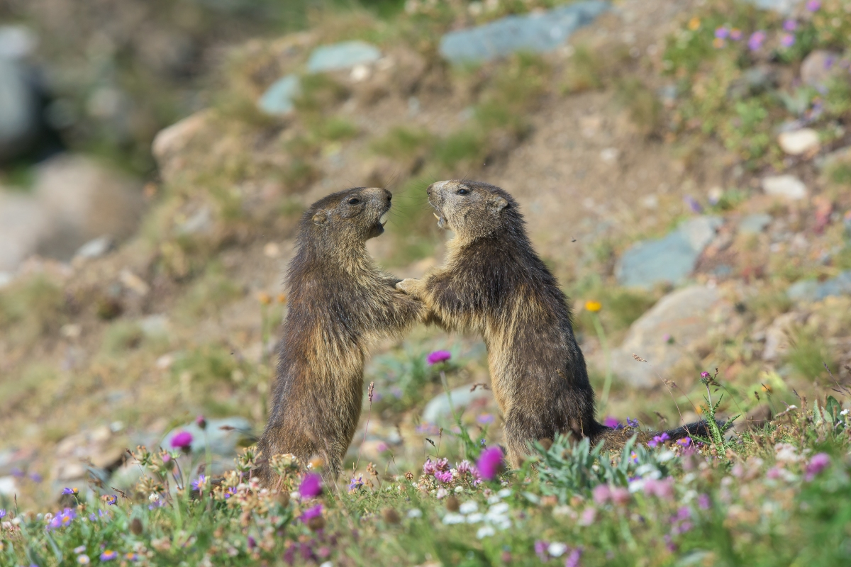 Le giovani Marmotte...