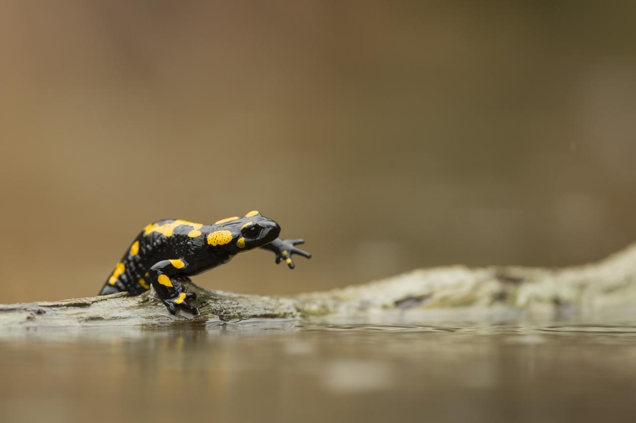 salamandra 1