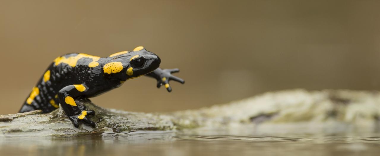 Una Salamandra Pezzata per un giorno dipioggia….