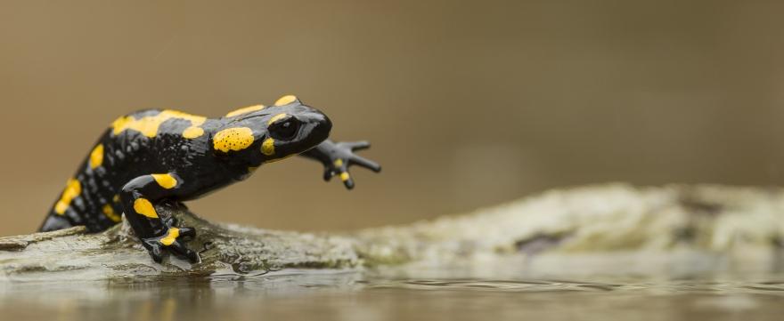 salamandra copertina