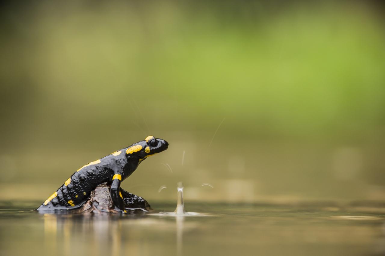 salamandra+schizzo
