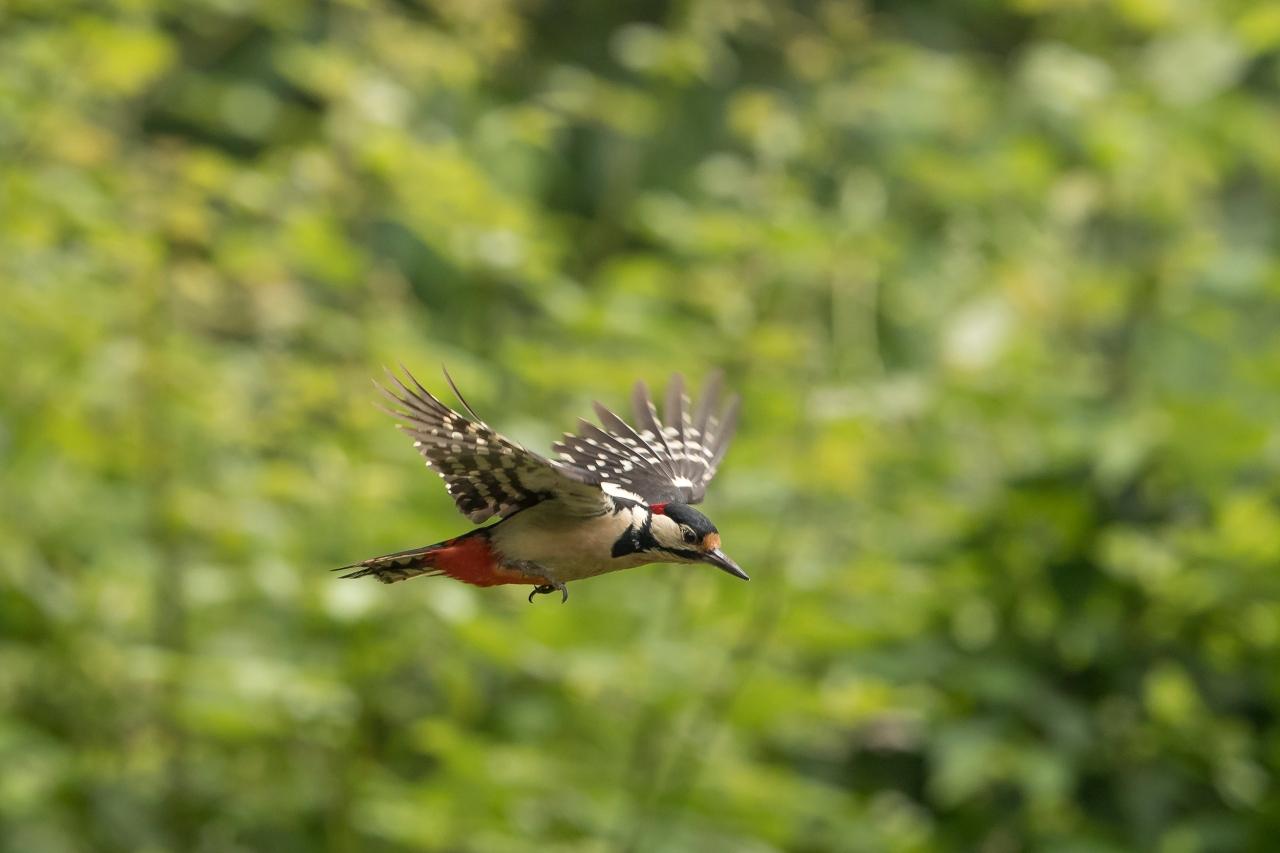 Picchio in volo 1