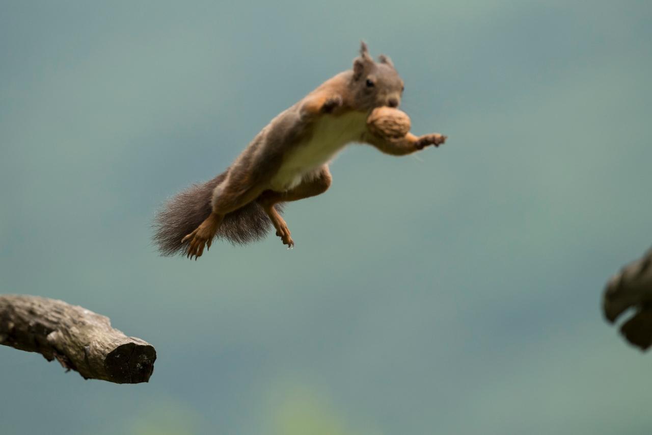 scoiattolo in salto