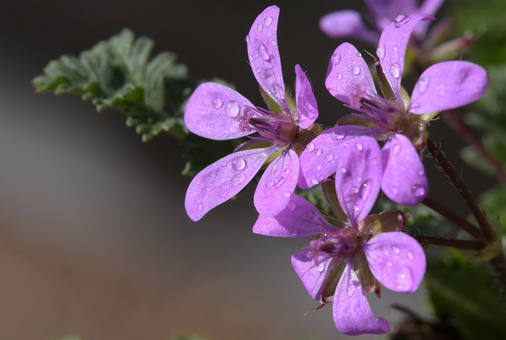 costigiola geranium sanguineum018